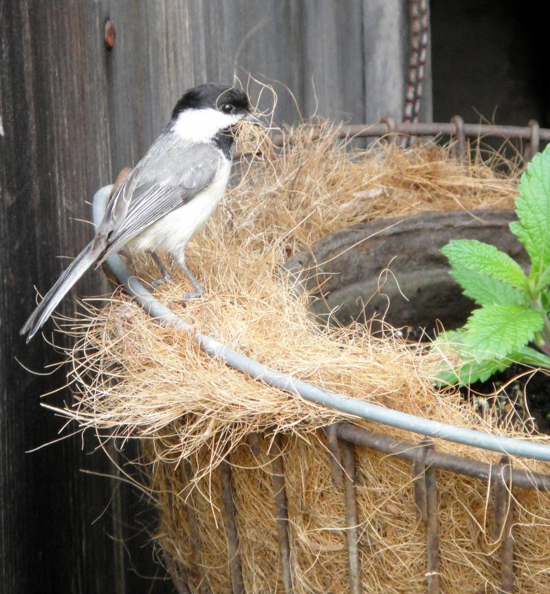 Black-capped Chickadee and Cone Flower (Peg Ackerson)