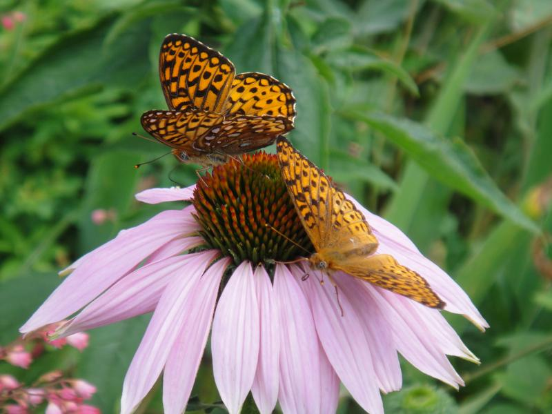Butterfly and Cone Flower (P. Ackerson)