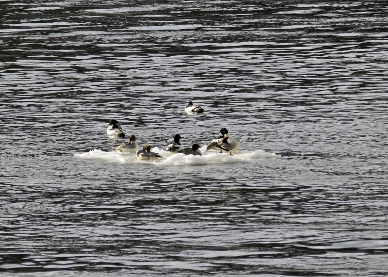 Common mergansers on ice floe